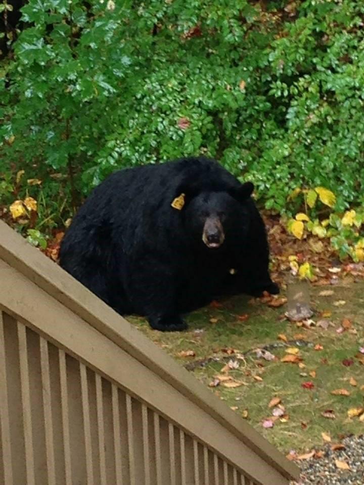 fat_bear